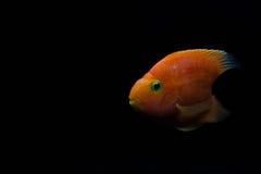 L'amour rouge de sang Parrots des poissons Photos stock