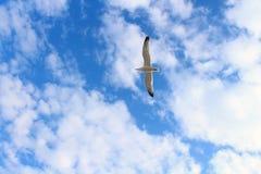 L'ampia diffusione traversa il gabbiano volando di volo Immagine Stock Libera da Diritti