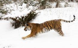 L'Amur & x28; Siberian& x29; funzionamento della tigre nella neve profonda parallela allo spettatore immagine stock