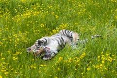 L'Amur & x28; Siberian& x29; gattino della tigre che gioca in fiori gialli e verdi immagini stock