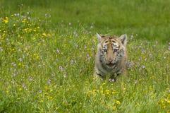L'Amur & x28; Siberian& x29; gattino della tigre che gioca in fiori gialli e verdi fotografia stock libera da diritti