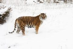 L'Amur & x28; Siberian& x29; neve profonda della tigre, vista di profilo immagini stock libere da diritti