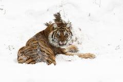 L'Amur & x28; Siberian& x29; tigre, arrabbiata, in neve profonda, retrovisione immagine stock libera da diritti
