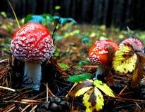 L'amusement a repéré l'agaric de mouche dans la forêt d'automne Images libres de droits