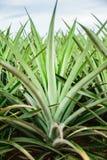 L'ananas Fotografia Stock Libera da Diritti