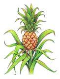 L'ananas avec le vert laisse l'élevage de fruit tropical dans une ferme Dessin d'ananas d'isolement sur un fond blanc Illustratio Photographie stock libre de droits