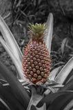 L'ananas croissant pas a moissonné le fond noir et blanc encore blanc photographie stock libre de droits