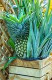 L'ananas, quello è disposto in casse di legno, dolce fresco del gusto fotografia stock