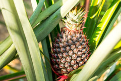 L'ananas rouge Image stock