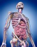 L'anatomia addominale illustrazione di stock
