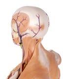 L'anatomia del collo illustrazione vettoriale