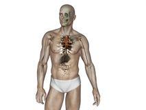 L'anatomia del corpo umano Fotografie Stock Libere da Diritti