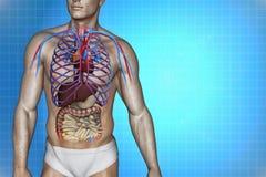 L'anatomia del corpo umano Immagini Stock Libere da Diritti