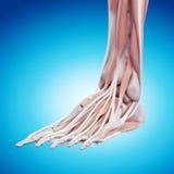 L'anatomia del piede fotografia stock libera da diritti
