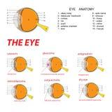 L'anatomia dell'occhio Fotografia Stock Libera da Diritti