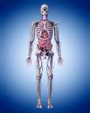 l'anatomia umana illustrazione di stock