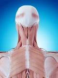 L'anatomie de cou illustration stock