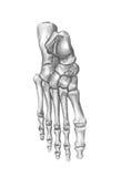 L'anatomie de l'homme. Le pied illustration libre de droits