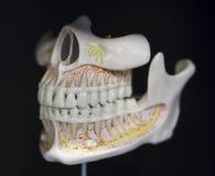 L'anatomie de mâchoire du crâne a basé la disposition images stock