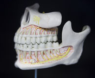 L'anatomie de mâchoire du crâne a basé la disposition photo libre de droits