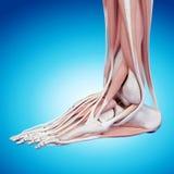 L'anatomie de pied illustration libre de droits