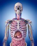 L'anatomie de thorax illustration de vecteur