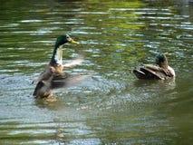 L'anatra aumenta al volo dal livello dell'acqua Immagini Stock