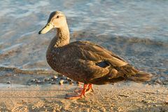 L'anatra di Mallard cammina lungo il bordo di un lago fotografia stock libera da diritti