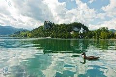 L'anatra di Mallard su un lago ha sanguinato con il castello su una collina nel fondo, alpi slovene Fotografia Stock