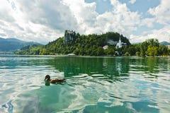 L'anatra di Mallard su un lago ha sanguinato con il castello su una collina nel fondo, alpi slovene Fotografie Stock