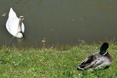 L'anatra ed il bello cigno Fotografia Stock