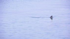 L'anatra esce dall'acqua stock footage