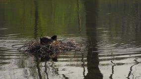 L'anatra maschio con un ramo nelle sue nuotate del becco verso la seduta femminile sul nido stock footage