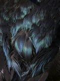 L'anatra nera mette le piume a con iridescenza porpora, verde e blu Immagini Stock