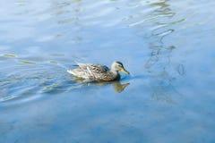 L'anatra nuota lungo l'acqua blu Fotografia Stock Libera da Diritti