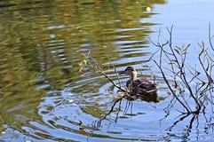 L'anatra nuota sulle onde Fotografie Stock