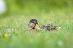 L'anatra si trova nell'erba, in un prato del fiore immagine stock