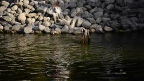 L'anatra sta sguazzando nell'acqua e sta provando a alimentarsi stock footage
