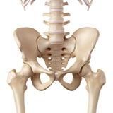 L'anca illustrazione vettoriale