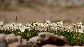 L'anemone fiorisce il primo piano Wildflowers in prati alpini fotografia stock libera da diritti