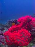 L'anemone rosa Fotografia Stock