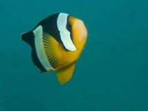 L'anemonefish de Clark, clarkii d'Amphiprion Photo stock