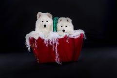 L'anglais de chien de Samoyed photographie stock libre de droits