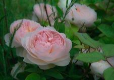 L'anglais de floraison a monté dans le jardin un jour ensoleillé Images libres de droits