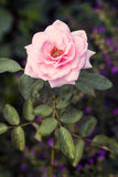L'anglais Rose Image libre de droits