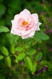L'anglais Rose Images libres de droits