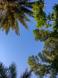 L'angolo basso ha sparato gli alberi bei d'esame con il cielo blu fotografia stock libera da diritti
