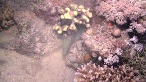 L'anguilla di Morey attacca il polipo stock footage