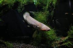 L'anguille électrique a nagé par derrière les algues images libres de droits