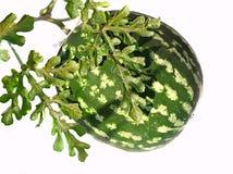 L'ANGURIA Seele si sviluppa sui raccolti di messa a terra, del giardino e della verdura Fotografie Stock